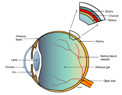 eye and vitreous humor Looking for vitreous humor find out information about vitreous humor the transparent gel-like substance filling the greater part of the globe of the eye, the.
